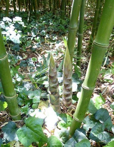 Bambouseraie à La Clapère dans les Pyrénées-Orientales